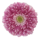 Gerbera Power Ball