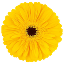 gerbera olympic gold