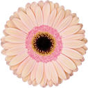 Gerbera Alliance