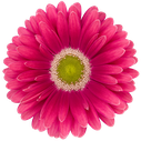 Gerbera Unique