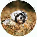 XS-Hunde bis 35cm Preise. Bolonka Zwetna im Laub.