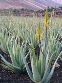 L'aloe vera est une plante à intégrer dans sa pharmacie pour soigner tous les bobos et dans son alimentation sous forme de gel ou pulpe à boire. En Afrique, il devrait y avoir quelques pieds d'aloe