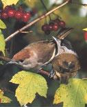 Mönchsgrasmücke