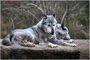 Zwei Wölfe (therapeutische Geschichte)