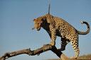 definition big five leopard
