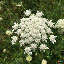 Fleur en ombelle de la carotte sauvage