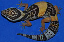 Eublepharis hardwickii