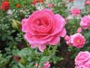 """Перейти в раздел """"Розы"""""""