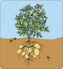 filmpje : hoe groeit de aardappel