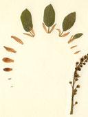 Traubenkirsche: Übergang  Knospenschuppen >> Hochblätter im Blütenstand