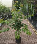 Obstbäume im 10Liter Container  www.funke-pflanzen.de