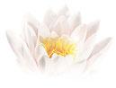 Lotus, Seerose, Erwachen Erleuchtung Achtsamkeit