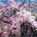 しだれ桜 舞鶴公園