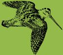 Der Wappenvogel des NVA, die Waldschnepfe