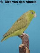 Forpus coelestis (Blaugenichsperlingspapagei) zimt grün