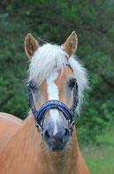 Bo de donkerbruine ruin Welsh C pony van Manege Gooi en Eemland