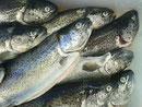 Lesachtaler Fisch