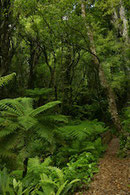 Bush Farn bush fern