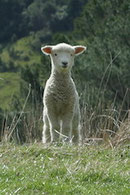Schaf Lamm sheep lamb