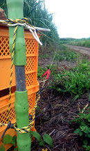 電気柵を施したさとうきび畑、最も効果のあるイノシシ対策だという(市内平野地区)