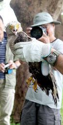 放鳥されたカンムリワシの「きょう」=10日午前、県立石垣青少年の家