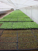 春野菜苗:石黒農園株式会社