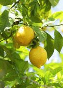 レモンCitrus limonの写真