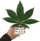 Buy Indica clones in best quality