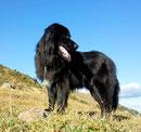 3 jähriger Collie/Labradormischling BLACKIE seit 31.01.2012 in 12435 Berlin Treptow im Plänterwald/Treptowerpark entlaufen