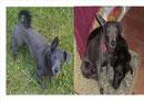 Mischlingshund OTTO seit 06.08.2012 in 16356 Ahrensfelde vermisst
