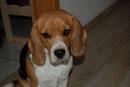 sehr liebe und zutrauliche Beagle-Dame, die seit dem 22.11.2011 in Altlandsberg vermisst wird.