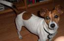 HORST (Jack Russell Terrier; männlich) vermisst seit: 29./30.12.11 verschwunden: S-Bhf Ostkreuz - Friedrichshain Farbe: weiß-braun Besonderheiten: brauner Fleck am Rücken und Rute; HERZKRANK