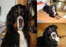 Wir geben die Hoffnung nicht auf, dass unsere 6 Jahre alte Berner-Sennenhündin, Finka, die am 26. 8.11 aus einer Hundepension in Perwenitz entlaufen ist, noch lebt.
