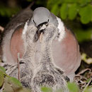 ВЯХИРЬ (Columba palumbus) - Фауна Беларуси