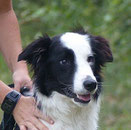 Modjo border collie