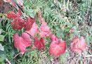 谷戸内のツタの紅葉