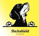 Goldader kennel dachshund puppy for sale