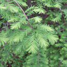 落葉針葉樹 庭木図鑑
