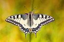 Schwalbenschwanz(Papilio machaon)