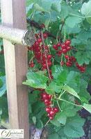 Rote Johannisbeeren am Strauch
