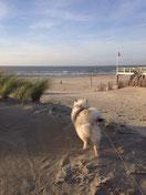 Wolfsspitz Babette am Nordsee Strand