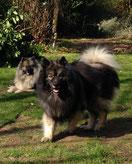 Wolfsspitz Babette und Sunny