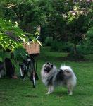 Wolfsspitz Babette im niederländischen Garten