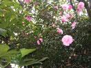 我が家に咲く山茶花