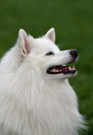 Witte Keeshond