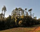 Zedern im Forêt des Cèdres, Marokko-Offroad-Reise
