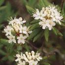 Ledum Palustre Helios Homeopathy Selectionnez la forme (granules, comprimes, etc), la taille du flacon, et la dilution