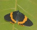 濃紺に鮮やかな黄色の帯が特徴のキオビエダシャク。羽根の長さは5㌢ほど。ネット上では「かなり美しい蛾」と評価する昆虫ファンも=字石垣で