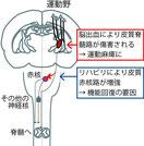 卒中後の麻痺枝を集中的に動かすことによるり再構成される運動経路