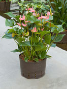 Hydropflanze